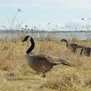 Geese Playing In The Grass