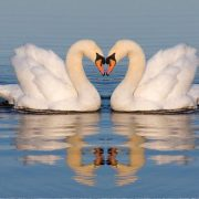Two swans kissing on the water
