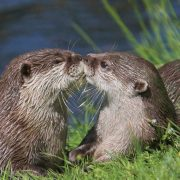 Two otters kissing