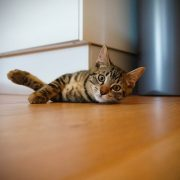 Hardwood Cat